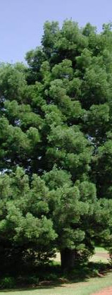 Outeniqua Yellowwood