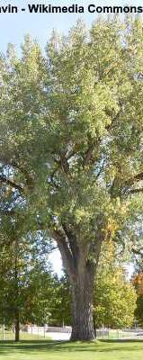 Eastern Cottonwood