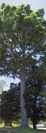 Queensland Kauri