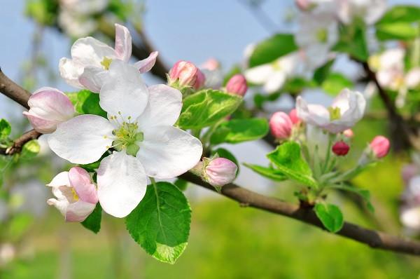 ApfelblueteVinschgau_Frühling