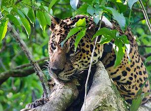 Emiliano Ramalho - Jaguar_Onça2.jpg