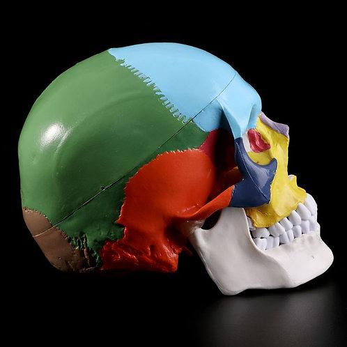 Human Skull Replica (Painted)