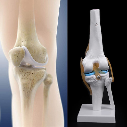 Flexible Human Knee Joint Replica