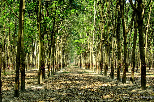 Rubber Trees Galore (WW-05)