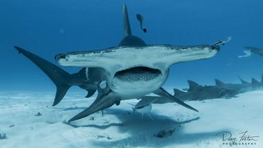 Great White Shark Vs Hammerhead Shark
