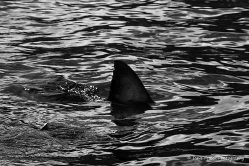 The great whites of Guadalupe Mexico (GW6)
