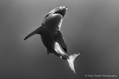 The great whites of Guadalupe Mexico (GW2)