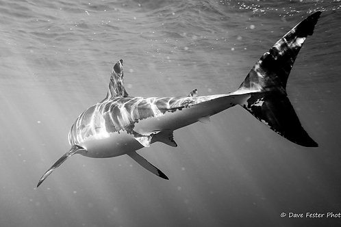 The great whites of Guadalupe Mexico (GW4)