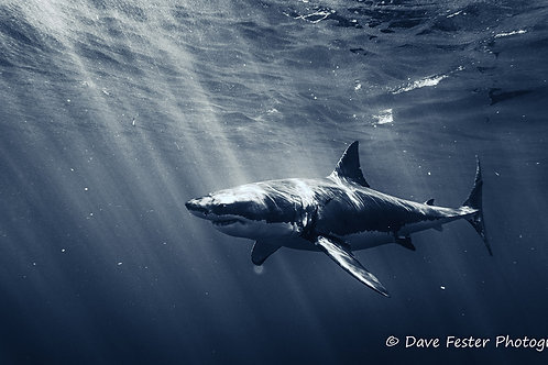 The great whites of Guadalupe Mexico (GW1)