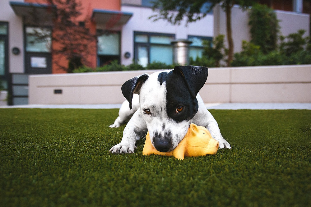 Black and white dog with squeaky toy on green grass in front of short white wall