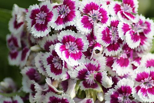 Diantus / Caissettes de 12 plants