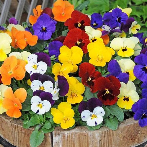 Viola / Caisettes de 12 plants