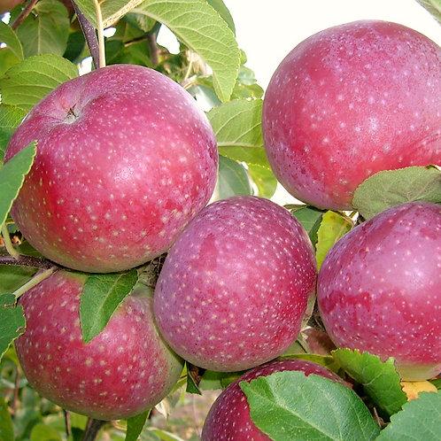 Pomme Lobo