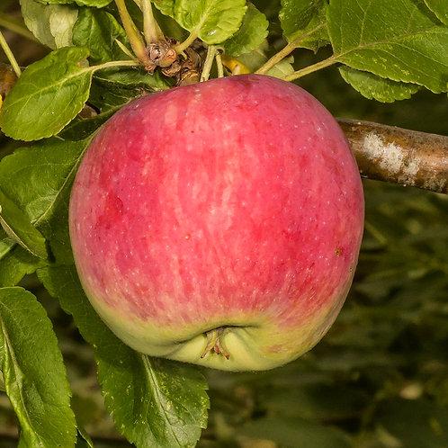 Pomme Vista Bella