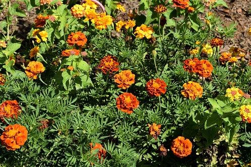 Marygold / Caissettes de 12 plants