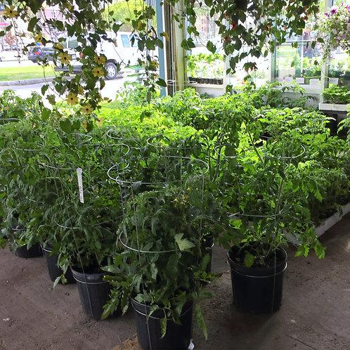 Tomates patio avec cerceau