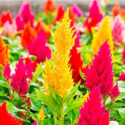 Célosie / Caissettes de 6 plants