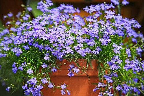 Lobélia / Caissettes de 12 plants