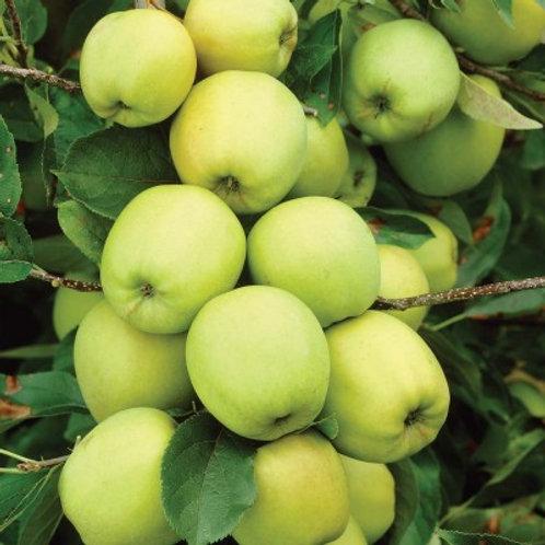 Pomme jaune transparente ( Blanche ou des neiges )