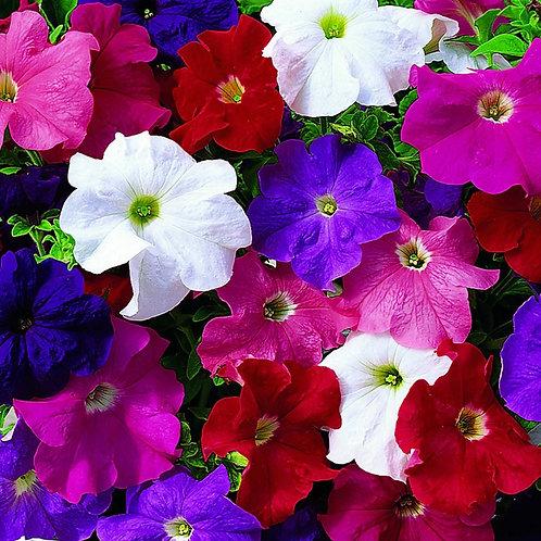 Pétunia / Caissettes de 12 plants