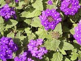 Verveine / Caissettes de 9 plants
