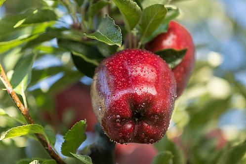 Pomme Red Court