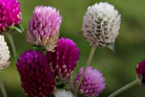 Gomphrena / Caissettes de 6 plants