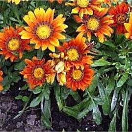 Gazania / Caissettes de 9 plants