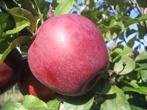 Pomme Fortune