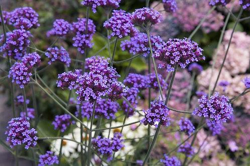 Verveine buenos air / Caissettes de 6 plants
