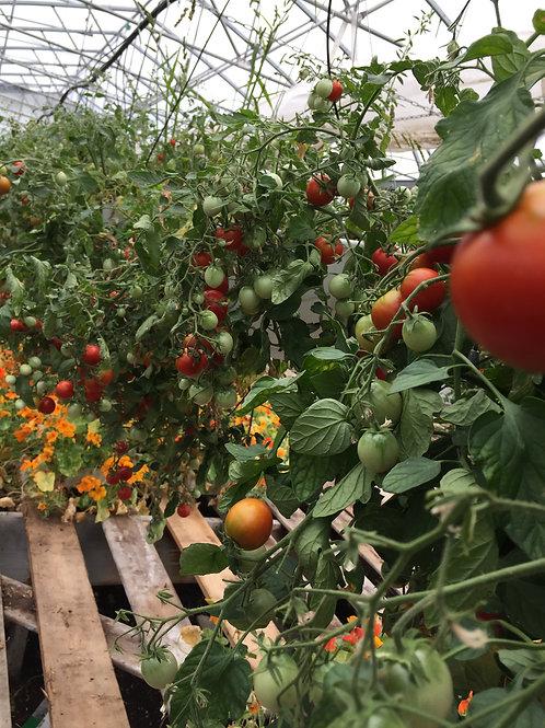Tomates cerises en jardinière 3 variétés
