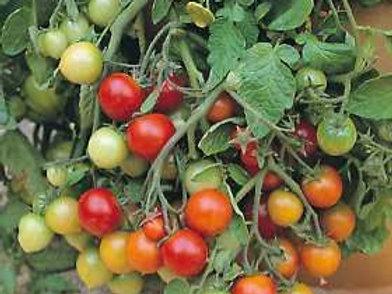 """Tomates pots de 8"""" plusieurs variétés"""