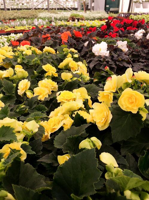 Bégonia tubéreux / Caissettes de 4 plants