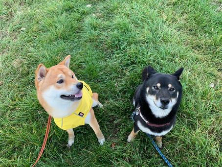 Zwei Shiba Inus beim Training