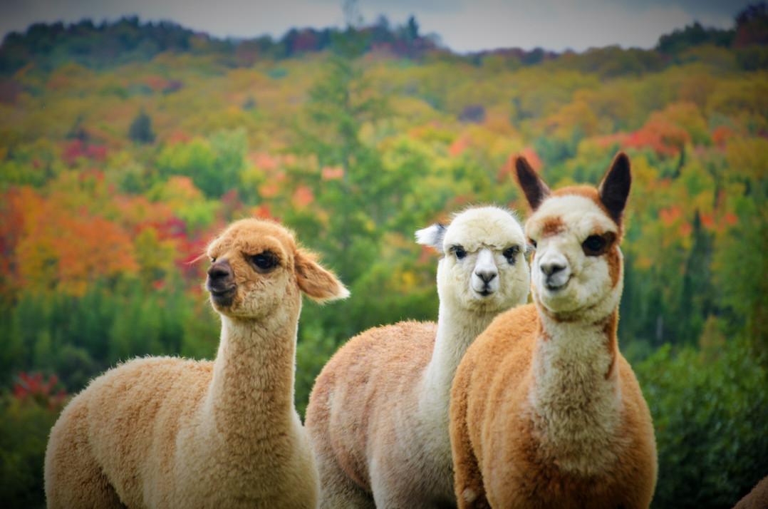 Alpagas Sutton - Fall crias