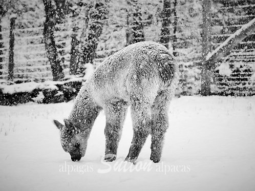 Black & White printed photography of a baby alpaca during its first snowfall
