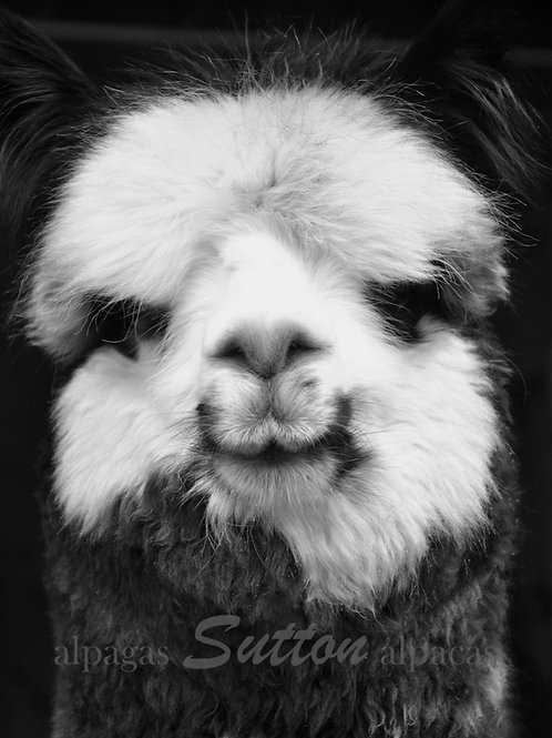 Black & White Printed Photography of alpaca smiling