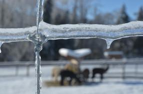 Alpagas Sutton - Winter observation