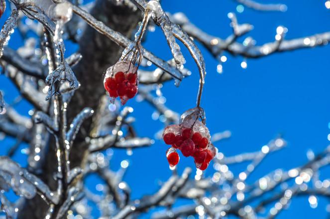 Alpagas Sutton - Winter Berries