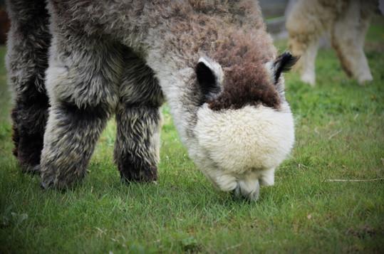 Alpagas Sutton - Spring Pasture