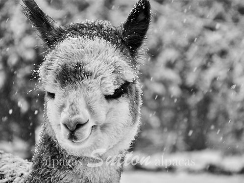 Black & White Printed Photography of a baby alpaca during snowfall