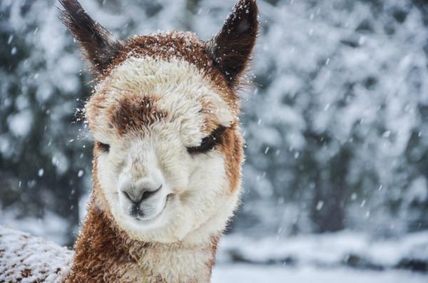 Alpagas Sutton - First Snow