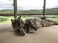 Long hair grey tabby cat