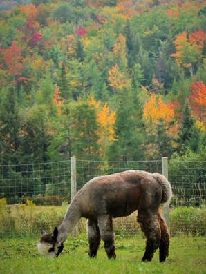 Alpagas Sutton - Fall Pasture