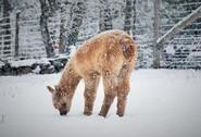 Alpagas Sutton - Snowfall