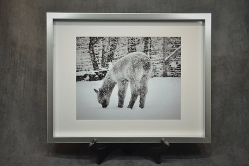 Black & White framed photography of a baby alpaca during its first snowfall