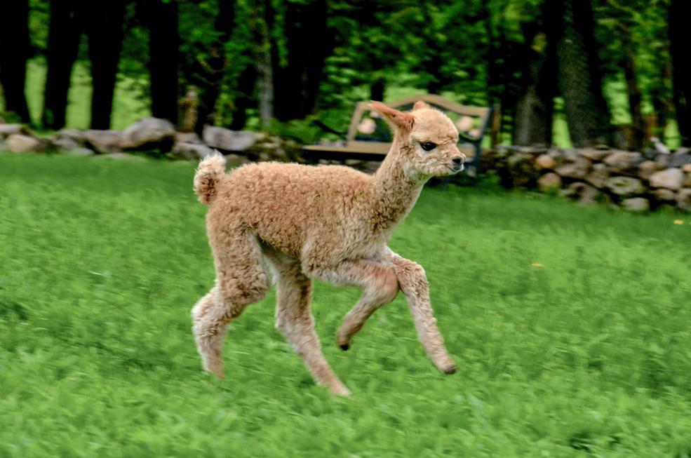 Alpagas Sutton - Cria running