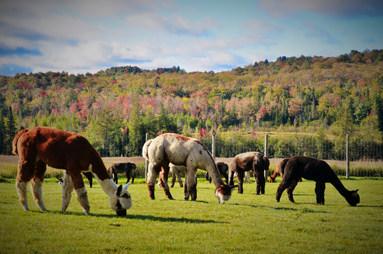 Alpagas au pâturage / Pastures & Alpacas