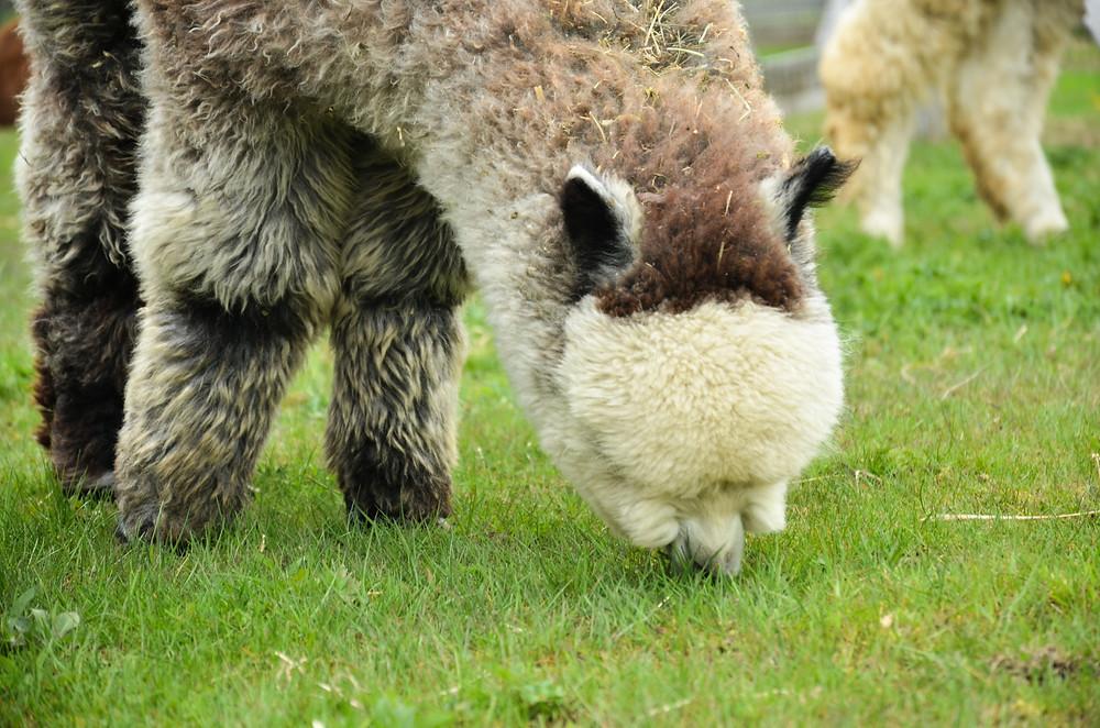 Alpaga qui mange de l'herbe