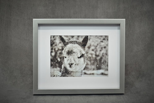 Black & White Framed Photography of a baby alpaca during snowfall